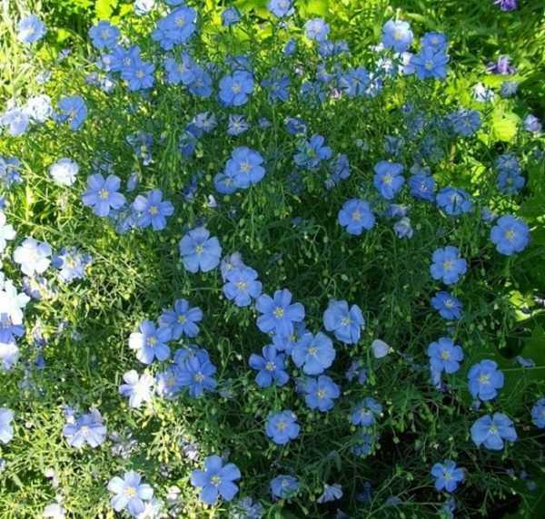 Цветы многолетники для сада неприхотливые низкорослые ...