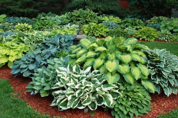Многолетние тенелюбивые растения для сада многолетние фото ...