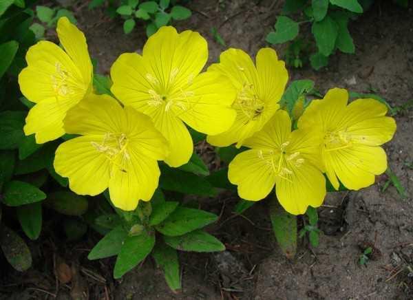 Многолетники желтые цветы – названия и фото, высокие и ...