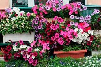 Низкорослые однолетние цветы для дачи фото и названия ...