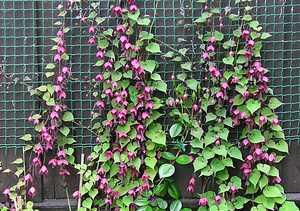 Плетистые многолетние растения для сада – Вьющиеся ...