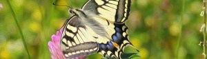 SIWSH Butterfly