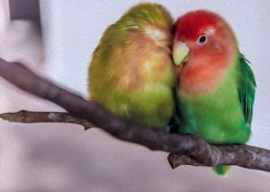 love bird parrots