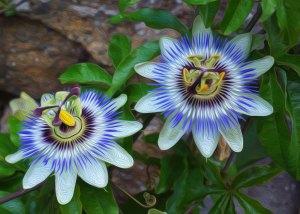 Restoring Intimacy Passion Flower