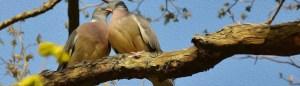 pidgeon love birds
