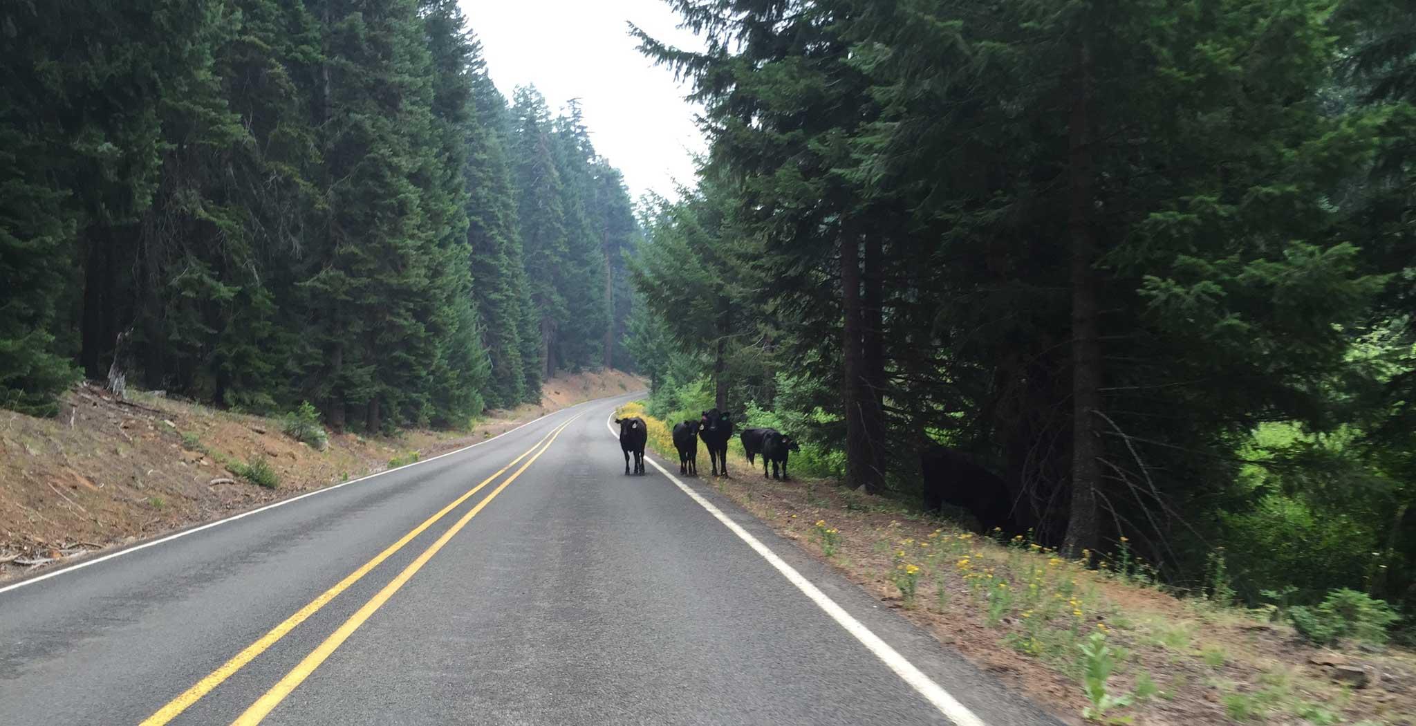 cows-deadindian