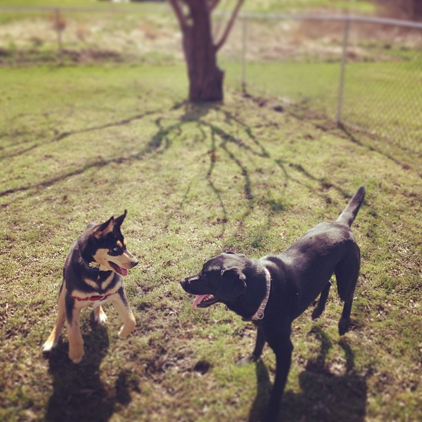 Atticus made a new friend today! He's a fan of black labs ;)