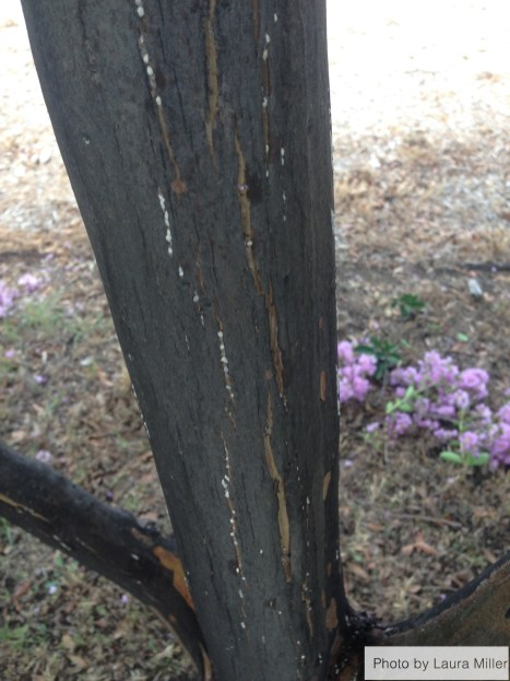 Crape myrtle bark scale on the main trunk