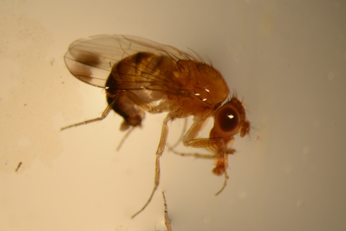 Spotted Wing Drosophila in Texas – Six-Legged Aggie
