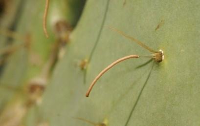 Figure 9. Cactus moth eggs. Photo: Ignacio Baez, USDA Agricultural Research Service, Bugwood.org