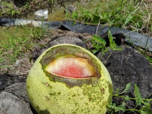 Disease afflicting the melons. May be bacterial fruit blotch or bacterial rind necrosis.