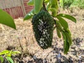 In this case, it appears to be a scale or mealybug on the fruit