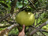 Pomelo, the largest citrus fruit - the size of a melon!