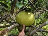 Pomelo, the largest citrus fruit - the size of a melon!