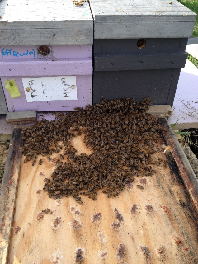 Combining the bees from a queenless nuc