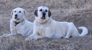 Blanca & Nubia guard the sheep against predators