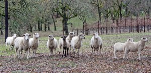 Sheep in the vineyard at Six Sigma Ranch