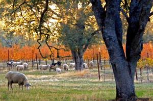 Sheep in Michael's Vineyard at Six Sigma Ranch