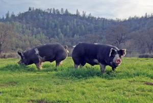 Pigs at Six Sigma Ranch