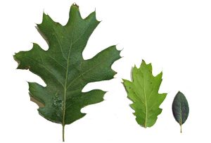 oak-hybrid