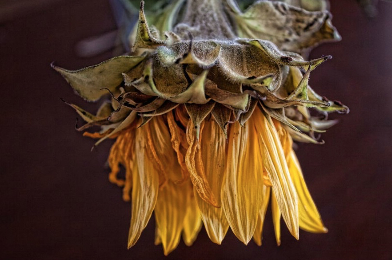A Detailed Sunflower