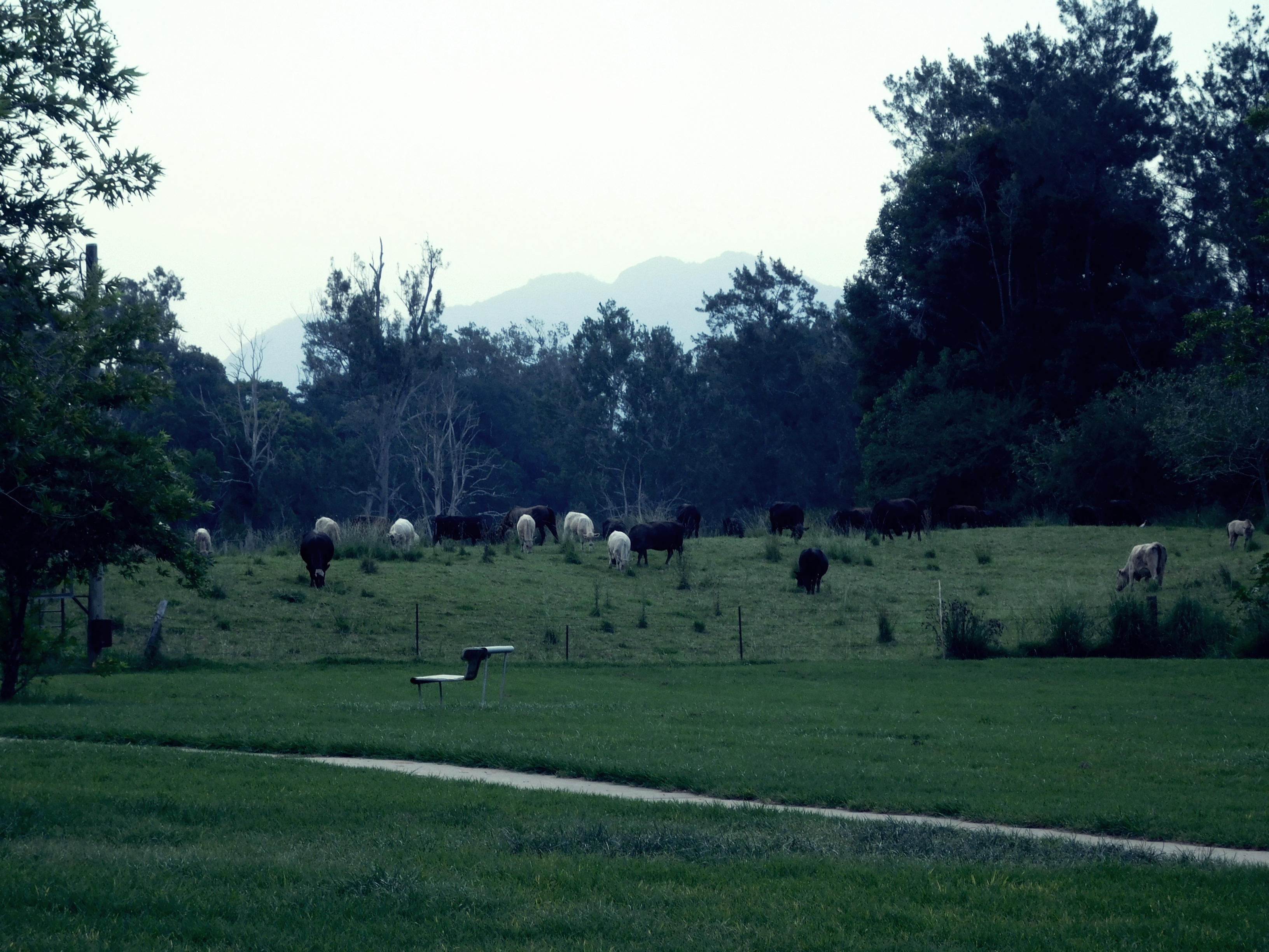 CATTLE BY THE BELLINGER