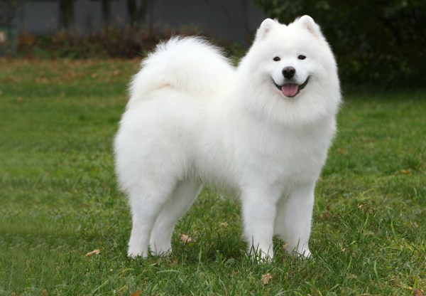 Самоед   DOG WEB PORTAL