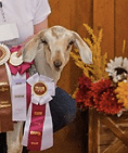 Hocus, Junior Grand and Reserve Champion