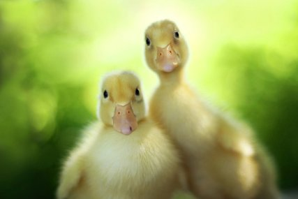 5 yellow ducklings - Cute Photography of Kittens and Ducklings by Amy Tyler