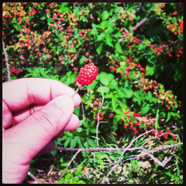 There are wild raspberry bushes behind my house. I take this as a sign of good things to come.