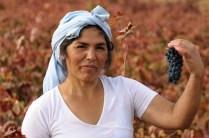 Wine Harvest, García Figuero Winery, La Horra, Burgos, Rivera del Duero, Spain