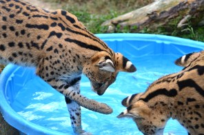 Four serval males play with goldfish for enrichment.