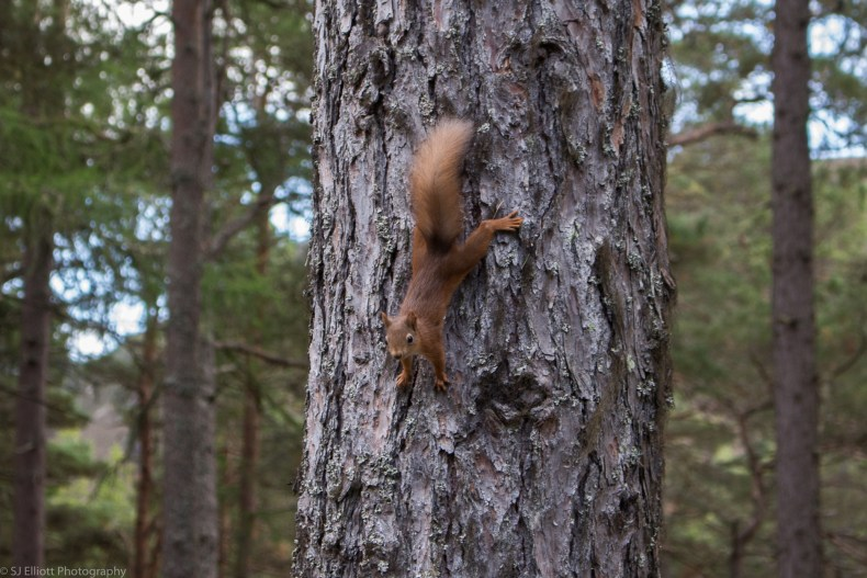 Red Squirrel on Caledonia Pine