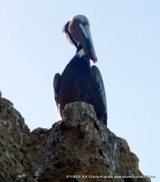 Stately pelican at Torrey PInes State Beach;SJF Communicationswww.sjfcommunications.com