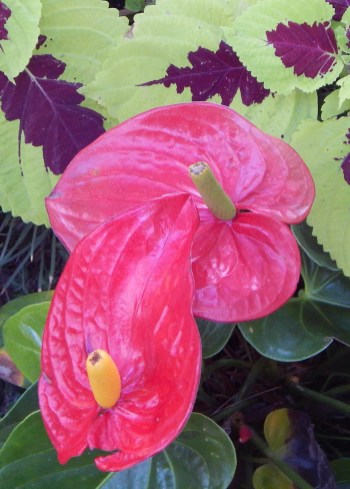 Flowers on our Encinitas Stroll; Photos by SJF Communications