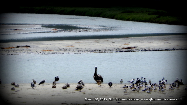Los Penasquitos Salt Marsh Birds