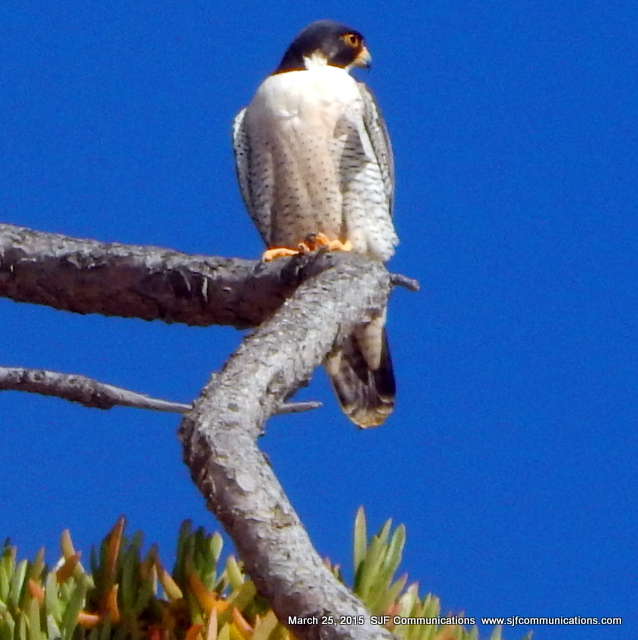 Peregrine Falcon at Torrey Pines State Beach
