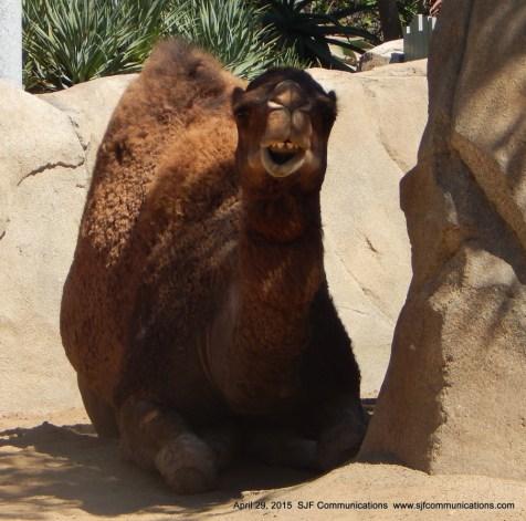 camel3