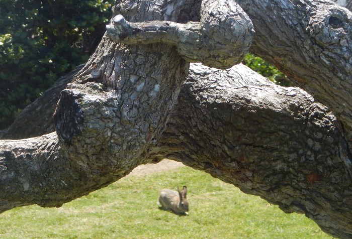 Rabbit at Seagrove Park, Del Mar