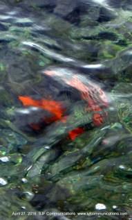 Strolling along Avalon Towards the Casino: Those famous orange fish