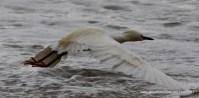 Egret Taking Off!
