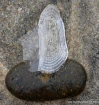 Jelly on a Rock