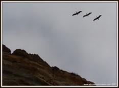 Pelicans Flyover
