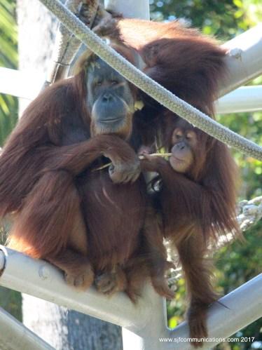 Mom and Baby Orangutans
