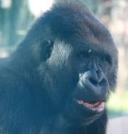 sdzoo.gorilla.2