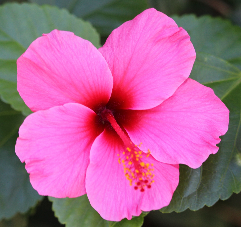sdzoo.hibiscus.lightpink1