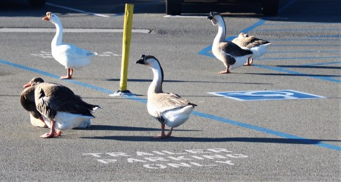 Geese welcoming us in the parking lot. Miramar Reservoir. Photo By SJF Communications