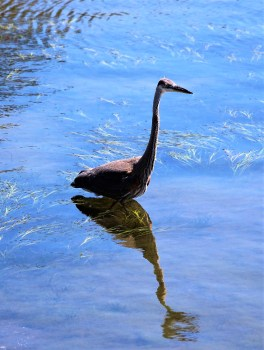Great Blue Heron - Photo by SJF Communications