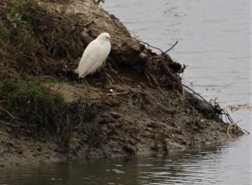 Snowy Egret - Photo by SJF Communications