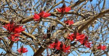 Coral Tree - Photo by SJF Communications